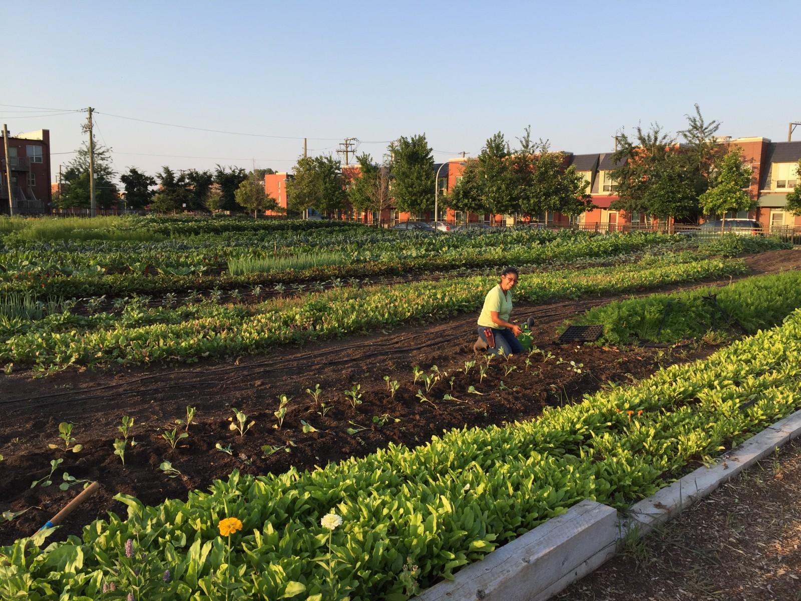 The Freshest Food for the Neediest Neighbors   My Chicago Botanic Garden