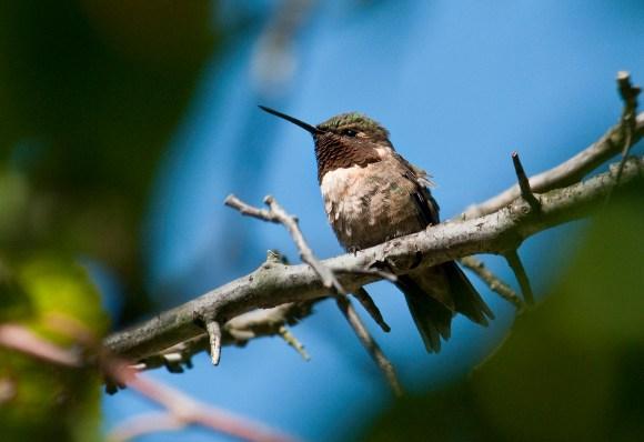 Ruby-throated Hummingbird photo © Carol Freeman