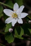 False rue-anemone (Isopyrum biternatum) ©Carol Freeman