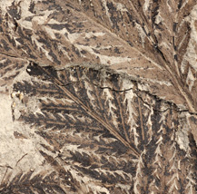 Fossil fern leaves