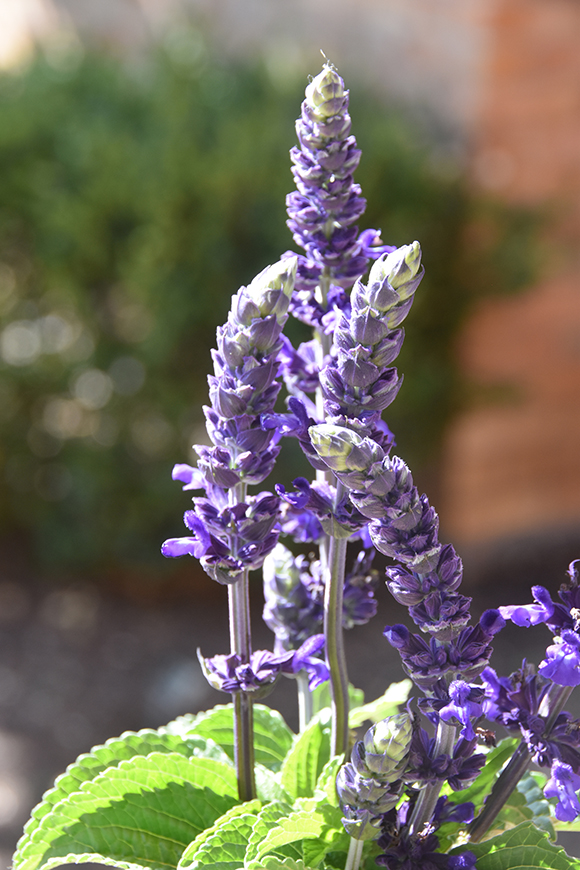 Mystic Spires Blue Improved salvia