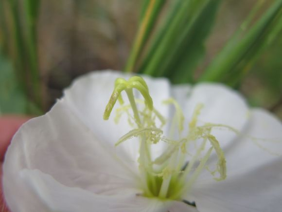 Scales from Hyles lineata were deposited on the stigma of an Oenothera harringtonii flower. (Photo: K. Skogen)