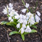 PHOTO: Scilla (Squill) in bloom.