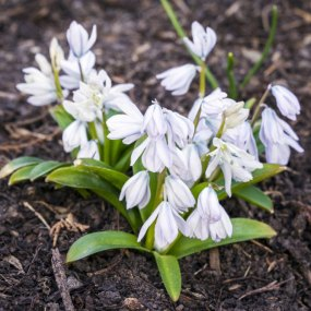 PHOTO: Scilla (squill).