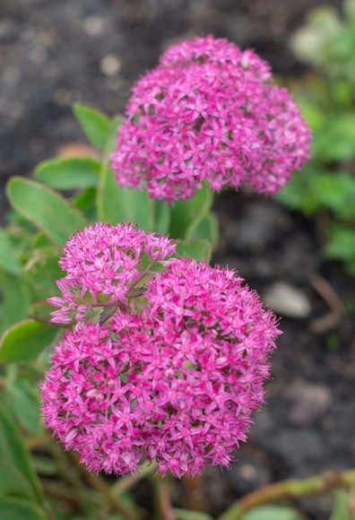 PHOTO: Sedum 'T. Rex'