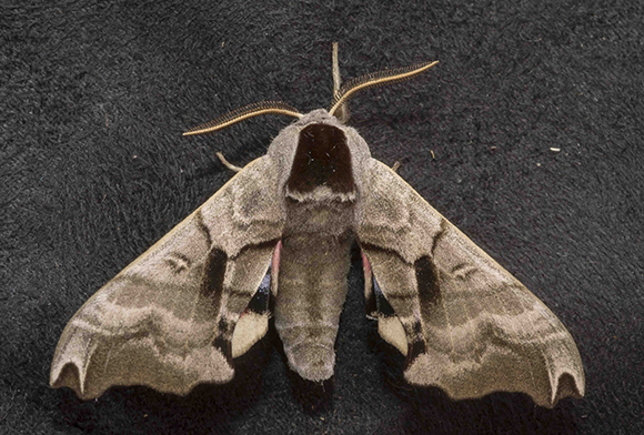 PHOTO: Smerinthus jamaicensis (Twin-spotted sphinx moth).