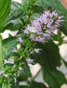 PHOTO: Spearmint in bloom.
