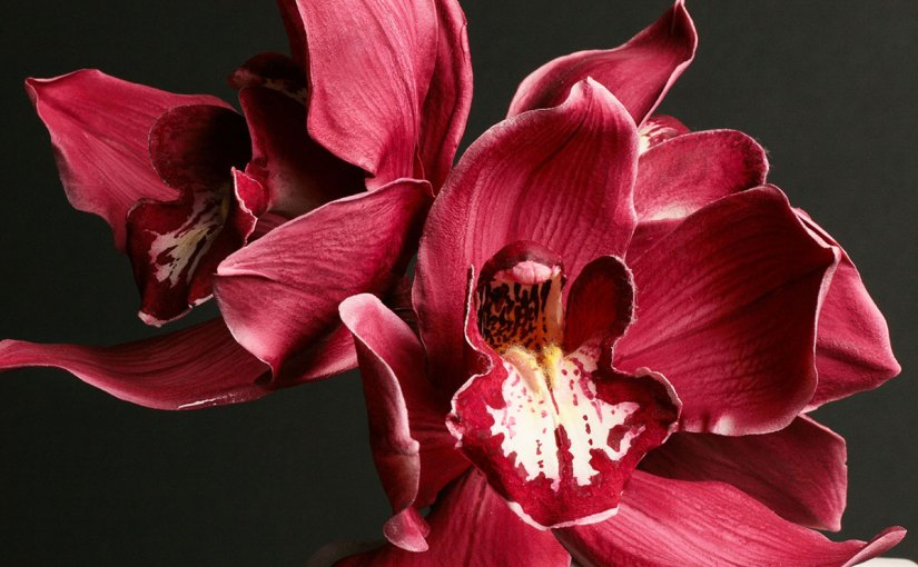 Sugar Cymbidium orchid by Robert Haynes. Photo © Tony Harris