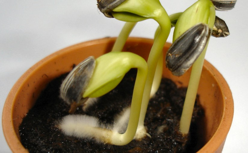 PHOTO: Sunflower seed sprouts.