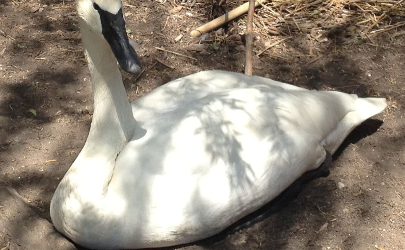 Coming of Age for the Garden's Cygnets