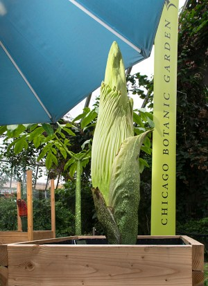 PHOTO: Corpse flowers (Amorphophallus titanum) on display in a variety of life stages: in fruit, leaf, and bud.