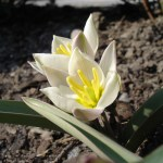PHOTO: Tulipa biflora, also known as Tulipa polychroma, is a great species tulip for the green roof.