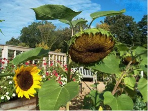 PHOTO: tall sunflower nodding.