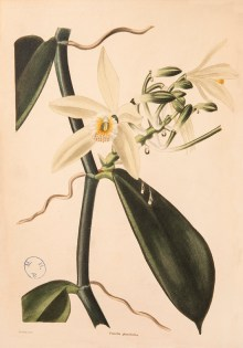 ILLUSTRATION: Vanilla planifolia.