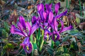PHOTO: Iris reticulata 'J.S. Dijt' in bloom.