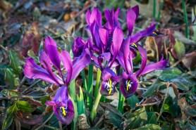 PHOTO: Iris reticulata 'J.S. Dijt' in bloom.