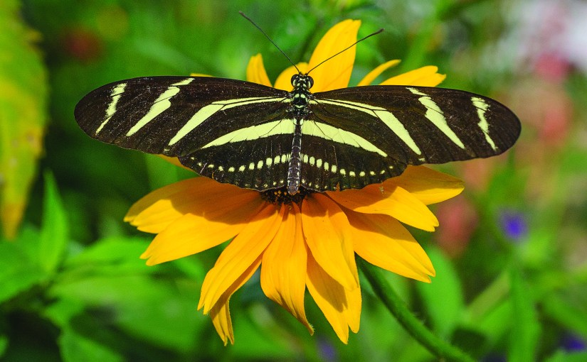 Zebra Longwing: The Friendliest Butterfly Around