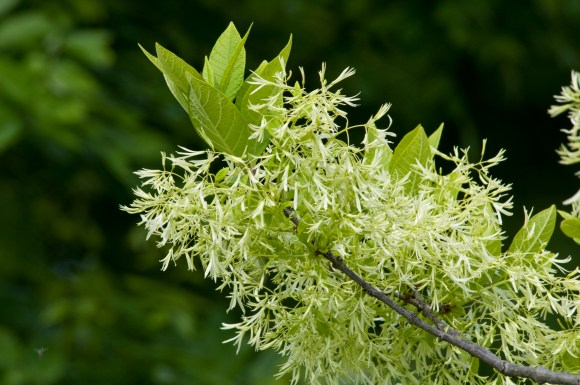 PHOTO: White fringetree in bloom.
