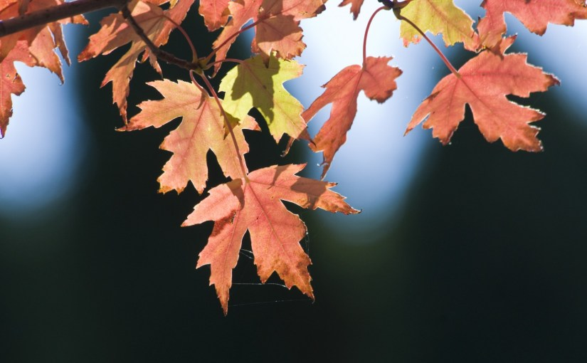 PHOTO: Autumn Blaze Freeman maple (Acer fremanii 'Jeffersred') in fall.