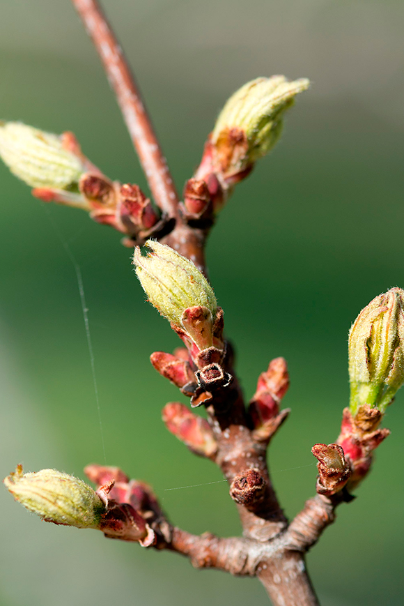 Red maple (Acer rubrum) in bud