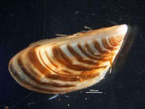 PHOTO: Adult zebra mussel (Dreissena polymorpha).