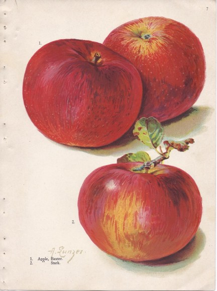 PHOTO: Illustrations by Alois Lunzer depict apple cultivars Baxter and Stark (1909).