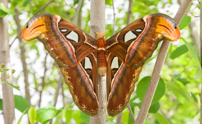Atlas Moth Emerges in Butterflies & Blooms