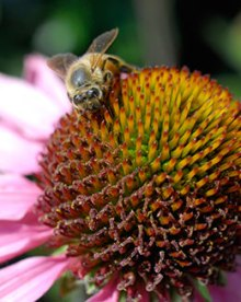 PHOTO: A honeybee from the Fruit & Vegetable Garden hives pollinates some Echinacea purpurea