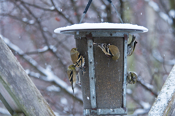 American goldfinches (Spinus tristis) in winter plumage