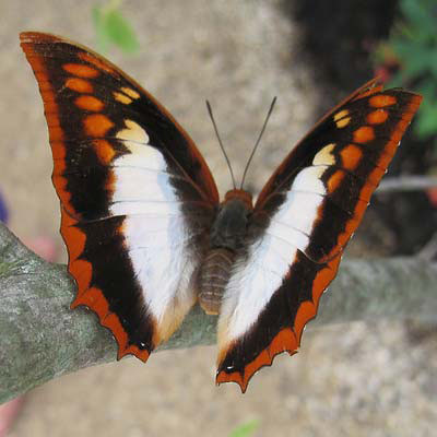 PHOTO: Flame-bordered Charaxes (Charaxes protoclea)
