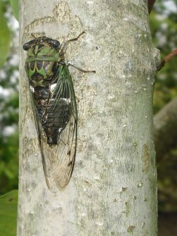 PHOTO: Side view of a cicada.