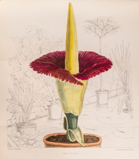 ILLUSTRATION: Corpse plant in flower illustrated by M. Smith in Curtis's Botanical Magazine (1891).