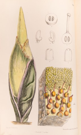 ILLUSTRATION: Bud shown with male and female flowers of Amorphophallus titanum (Becc.) Becc. - Titan Arum from Curtis's Botanical Magazine, vol. 117 [ser. 3, vol. 47]: t. 7153 (1891) [M. Smith].