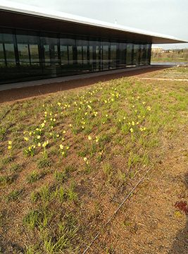 PHOTO: Daffodils sprinkle the Green Roof Garden in early spring.