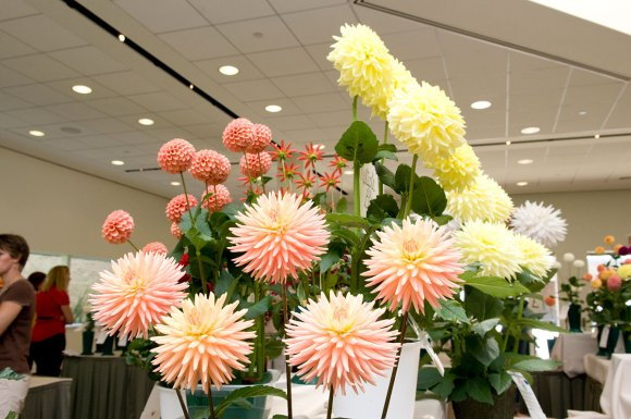 Dahlia arrangement at the Central States Dahlia Society Show