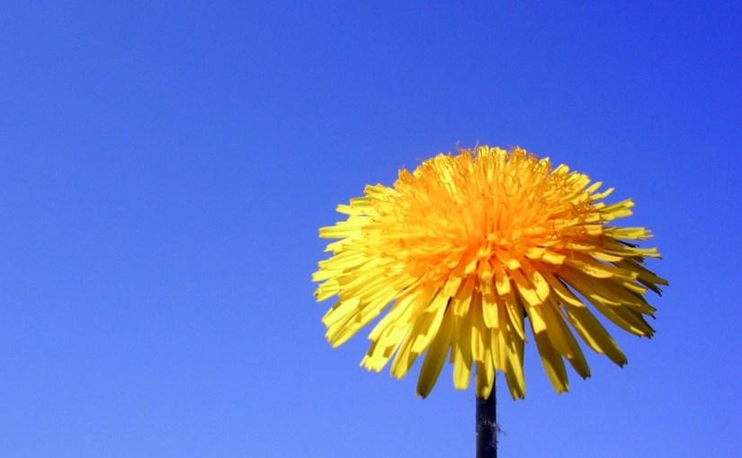 PHOTO: Dandelion.