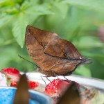 Orange deadleaf butterfly (Kallima inachus)