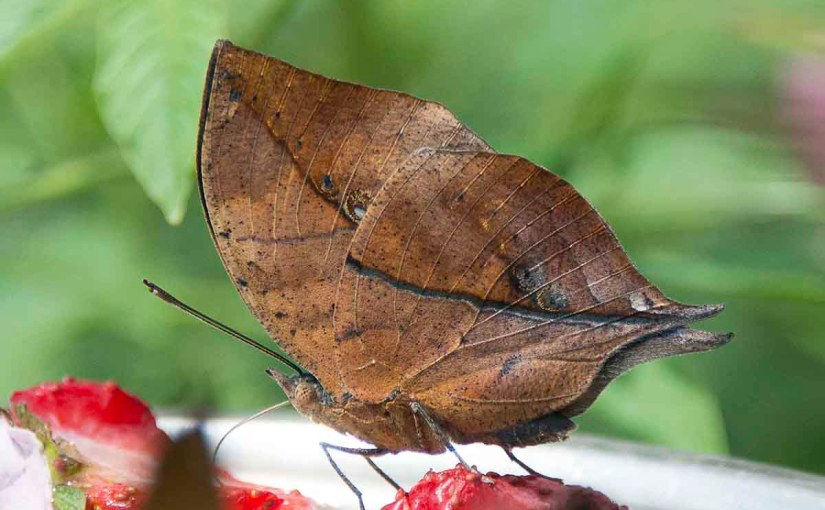 Don't trust your eyes—that leaf is actually a butterfly