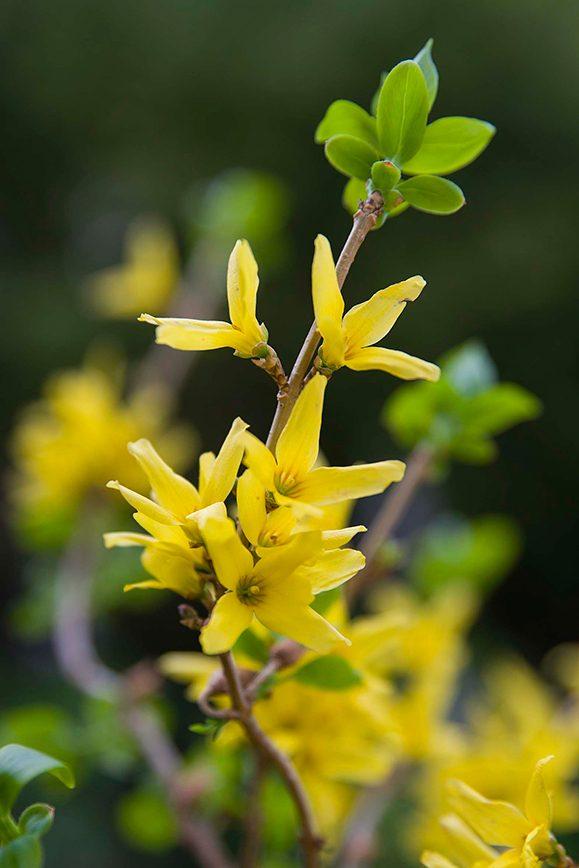 Forsythia (Forsythia x intermedia)