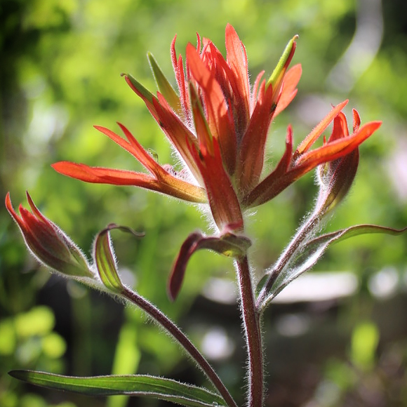 Giant red paintbrush (castilleja miniata)