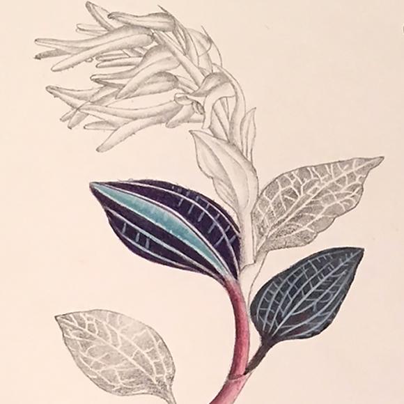 Goodyera biflora
