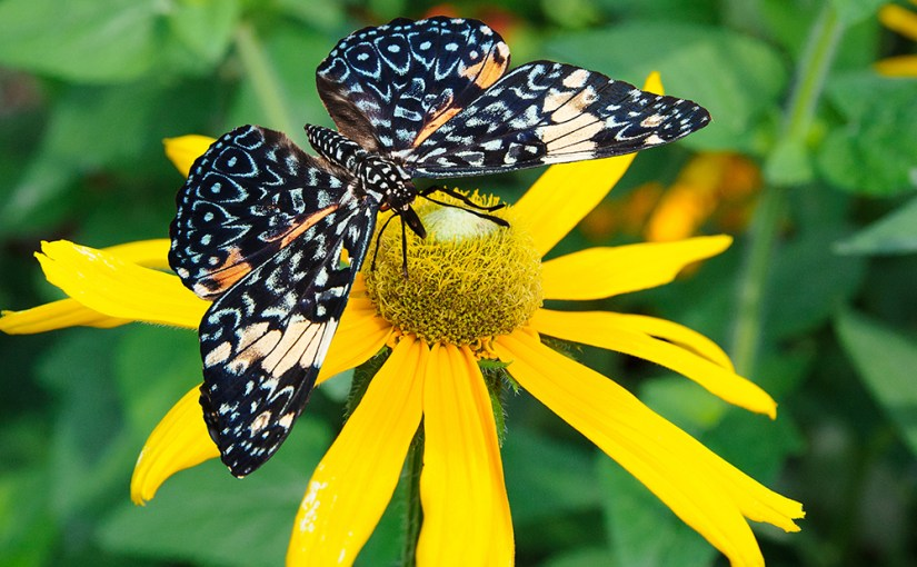 PHOTO: King Cracker butterfly