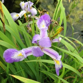 PHOTO: Southern blue flag iris.