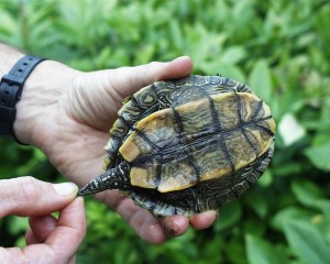 PHOTO: Underside of false map turtle