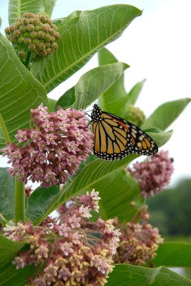 PHOTO: A monarch sips nectar from common milkweed on the Dixon Prairie.