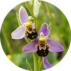 "Ophrys apifera, ""bee orchid"""