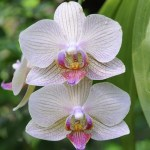 PHOTO: Closeup of blooms of Phalaenopsis orchid.