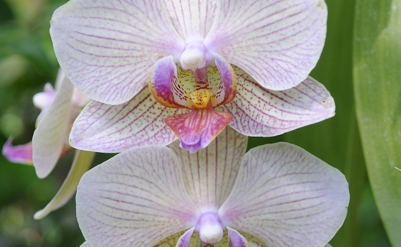 Repotting Orchids, Part 1: Phalaenopsis