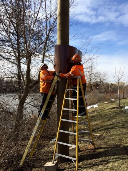 PHOTO: Installing an osprey nesting pole.