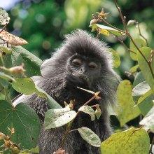 PHOTO: This Malaysian silverleaf monkey eats fruit as part of its diet, dispersing seeds far beyond the canopy line.